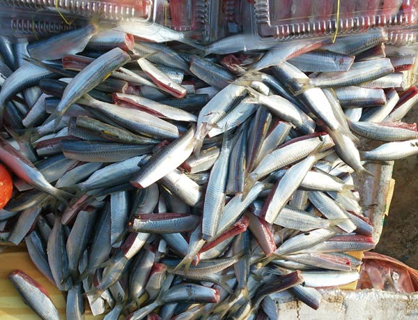 Cá trích